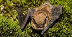 le chauve souris fascinantes chauves souris zoo de granby