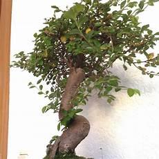 Wie Pflegt Einen Bonsai Zelkova Parvifolia Garten