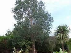 Arbre Pour Haie Qui Pousse Vite Ma Plan 232 Te Jardin L Eucalyptus Gunnii Un Arbre Exotique