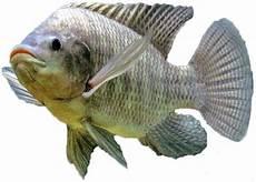 Ikan Mujair Sedikit Informasi Tentang Ikan Mujair