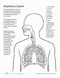 science worksheets respiratory system 12369 inside out anatomy the respiratory system respiratory system human systems human