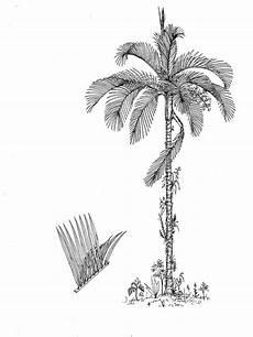 palma llanera para dibujar resultado de imagen para la palma de cera palma de cera palmas dibujos