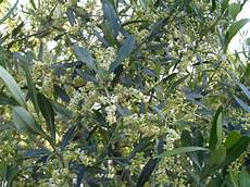 fiori di ulivo acqua e nutrienti per gli olivi in fioritura