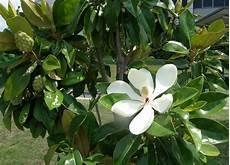magnolia fiore tree flowers magnoliaceae