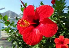 hibiscus entretien 5 formas de usar hibisco para acelerar o crescimento do cabelo