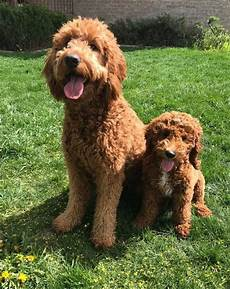 image result for types of goldendoodle haircuts cute pin on kids teens
