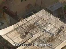 house sparrow trap plans homemade sparrow trap free build plans youtube