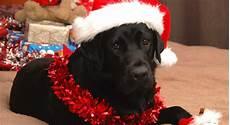 christmas labrador manual the labrador co