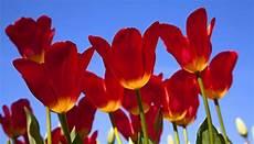 wann tulpen schneiden tulpen pflege wie und wann die blumen zur 252 ck