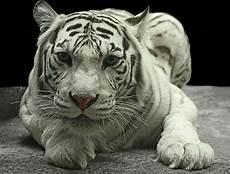 Gambar 3d Harimau Putih Markas3d