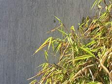 Bambus Braune Blätter - warum hat mein bambus gelbe bl 228 tter bambus freunde