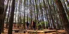 Pemandangan Hutan Pinus Hd Gambar Hitam Hd