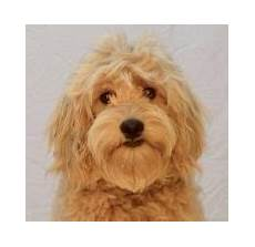 goldendoodle haircuts goldendoodle grooming timberidge goldendoodle haircuts goldendoodle grooming timberidge goldendoodles