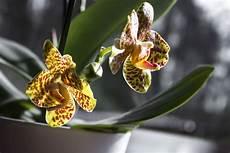 orchideen wie giftig sind sie wirklich