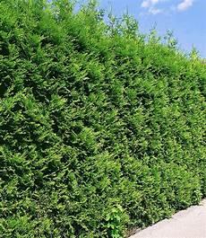 thuja brabant pflanzen thuja lebensbaum quot brabant quot 1 pflanze g 252 nstig kaufen