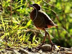 300 Gambar Burung Weris Gambar Id