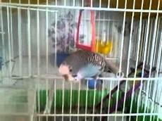 uccellini in gabbia un uccellino in gabbia