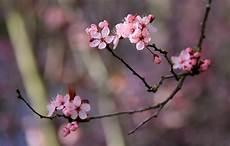 japanese cherry grove le tissier designs