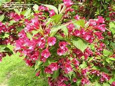 plantfiles pictures weigela bristol ruby weigela