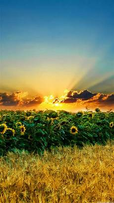 nature wallpaper hd for iphone 6 nature iphone 6 plus wallpapers sunset sunflower