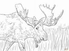 free coloring pages of alaska animals 17383 alaska moose coloring page free printable coloring pages