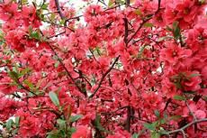 arbustes à fleurs rouges images gratuites arbre la nature fleur feuille 233 t 233