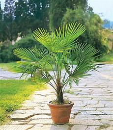 winterharte im kübel winterharte k 252 bel palme 1a k 252 belpflanzen baldur garten
