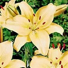 significato fiori giglio significato giglio significato fiori giglio linguaggio