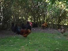 Hühner Im Garten - h 252 hner im eigenen garten halten iii der freilauf