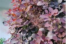 pflanze rote blüte roter per 252 ckenstrauch royal purple pflanze des monats 2