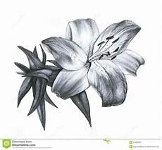 disegni di fiori a matita pencil drawing stock illustration illustration of