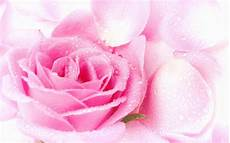 pink rose pictures download free pixelstalk net