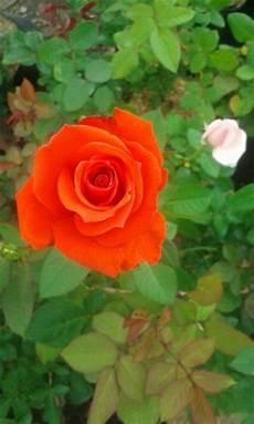 Paling Populer 19 Gambar Bunga Mawar Orange Richa Gambar