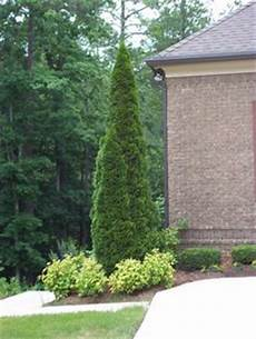 1000 Images About Arborvitae On Thuja