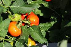 welche temperaturen vertragen tomaten wie lange bleiben