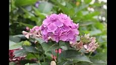 wie trocknet hortensien hortensie selber ziehen newwonder555 doovi