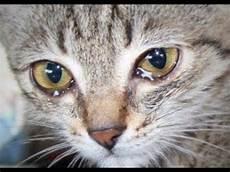 Mengapa Kucing Mengeluarkan Air Mata Hewan Peliharaan