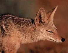 mongolischer wolf tierart tiere arten