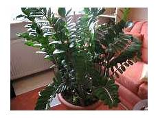 Zamioculcas Zamiifolia Pflanze Zamioculcas Pflege
