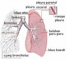 Sistem Pernafasan Pada Manusia V 2 B Education