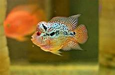 12 jenis ikan louhan lengkap disertai dan harganya