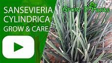 sansevieria cylindrica pflege sansevieria cylindrica grow and care