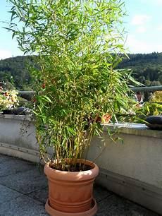 bambus als sichtschutz f 252 r terasse und balkon bambus und