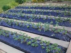 comment planter de fraisiers sur b 226 che noir planter des