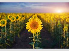 Sunshine flower wallpaper wide   wallpaper.wiki