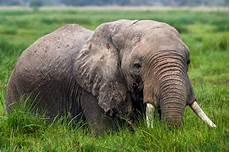Malvorlage Afrikanischer Elefant 40x60 Leinwand Afrikanischer Elefant