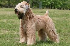 haircuts for wheaten terriers pin by laura virant on wheaten terriers pinterest