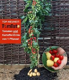 kartoffel tomaten pflanze tomtato 174 pflanztomtato 174 pflanze kaufen baldur gartene