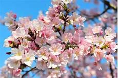 fior di ciliegio significato fiori di ciliegio linguaggio dei fiori