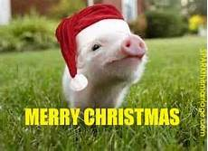 merry christmas piglet pig piggy santa hat santa claus hog baby pigs pig pig pictures
